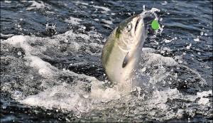 Southern Oregon Salmon
